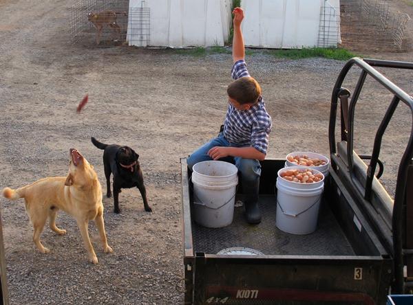 Feeding-the-farm-dogs---Dingo-&-Simba.jpg