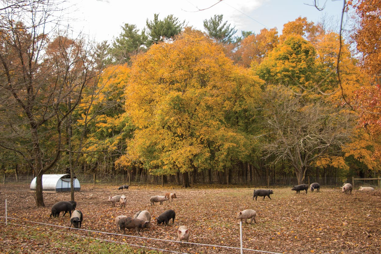 Woodland-Pigs-in-Fall-leaves.jpg