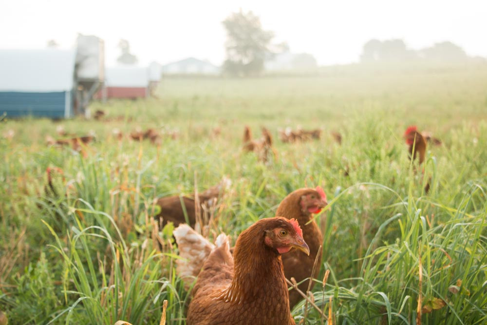 Pastured Hens in the morning white mist