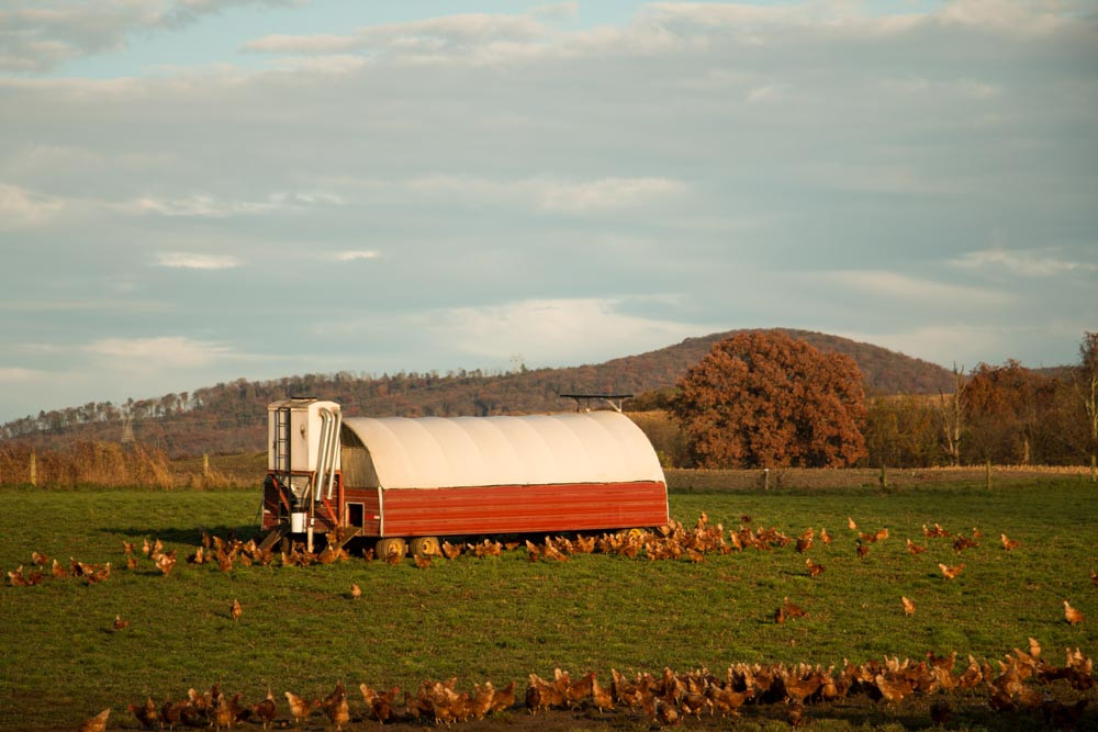 Our Pastured Hens in the fall