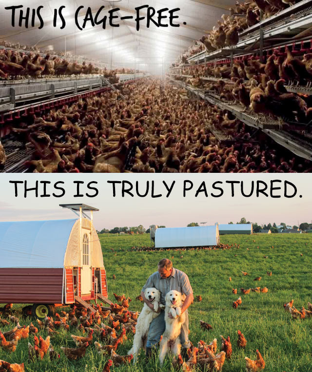 Cage Free vs. Pastured Chickens