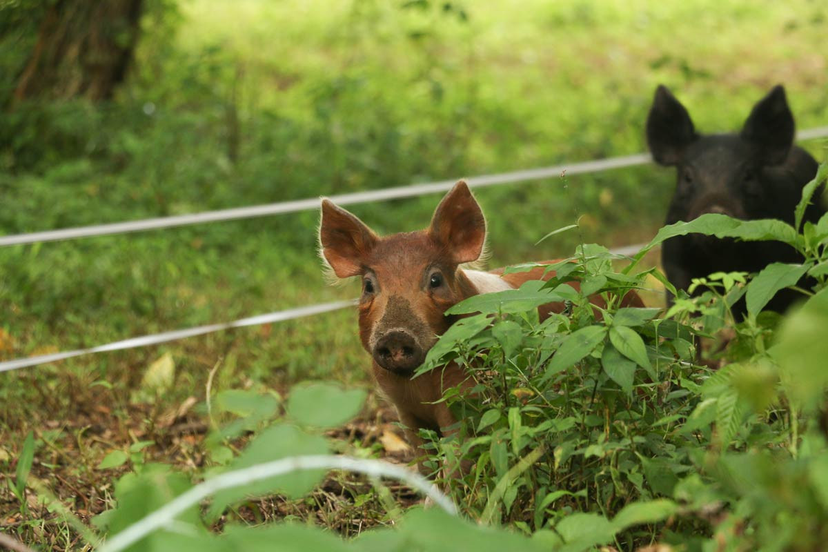 What makes Woodland Pork special?