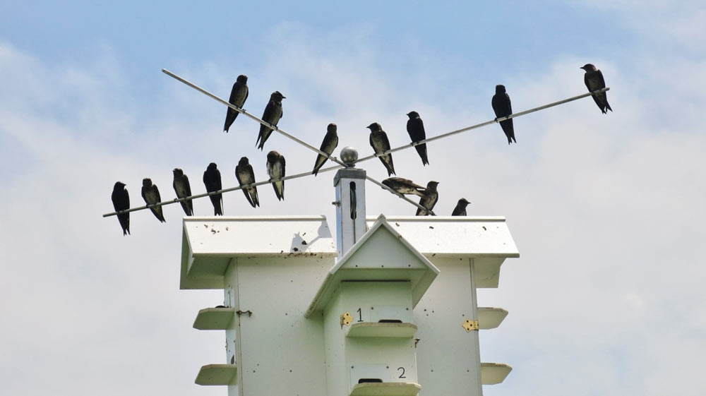 Purple-Martins.jpg