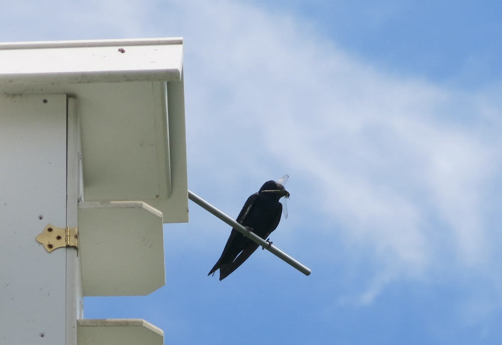 Purple-Martin-with-Dragon-Fly.jpg