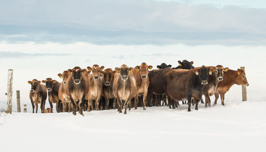 Grass Feeding Cows in the Winter
