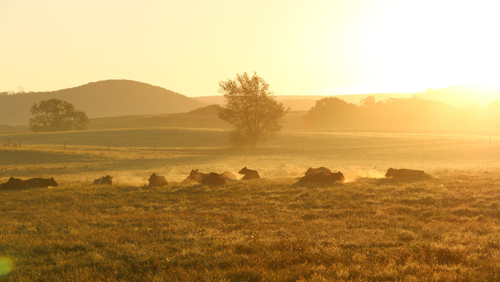 Cows-in-morning-Sunrise.jpg