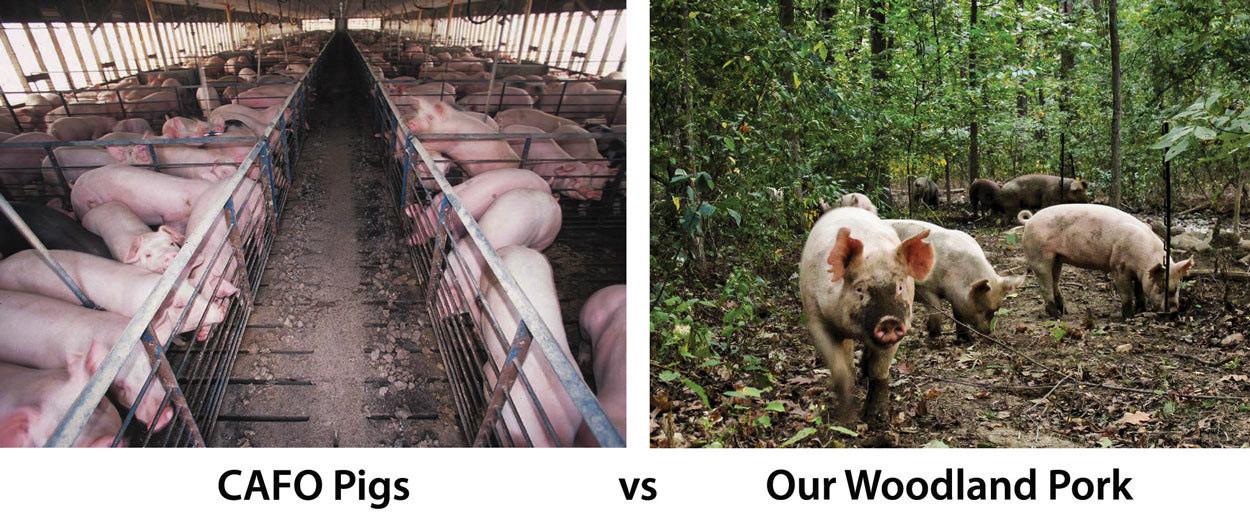 CAFO-pigs-vs-Our-Woodland-Pork.jpg
