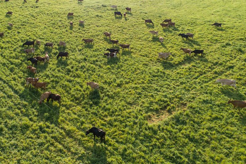 Cows-grazing-drone.jpg