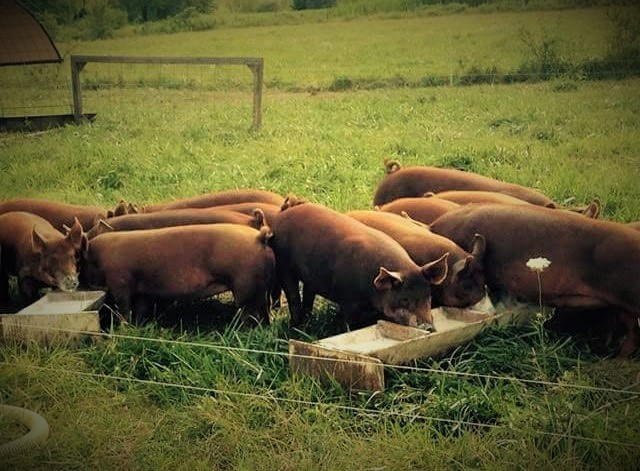 Pork, half freezer pig