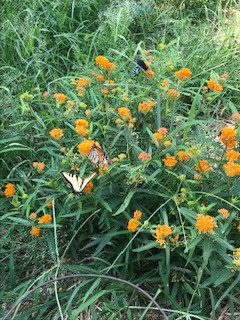Butterflies and Their Bushes