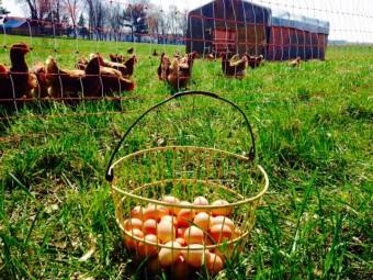 Eggs, pastured