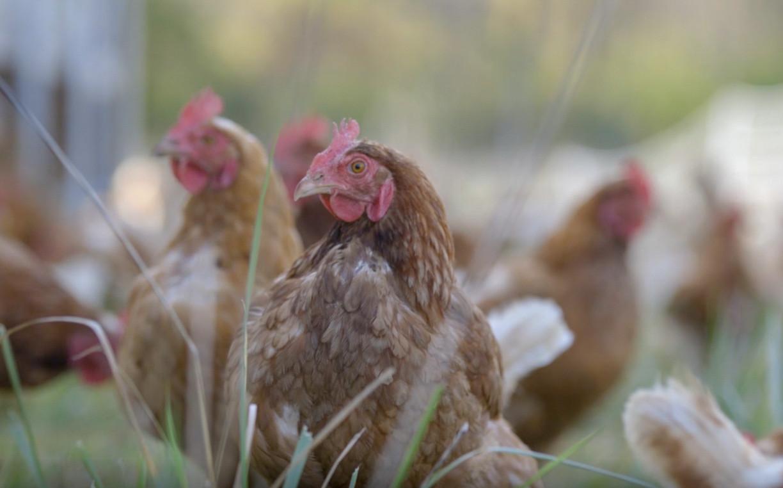 Chickens-3.jpg