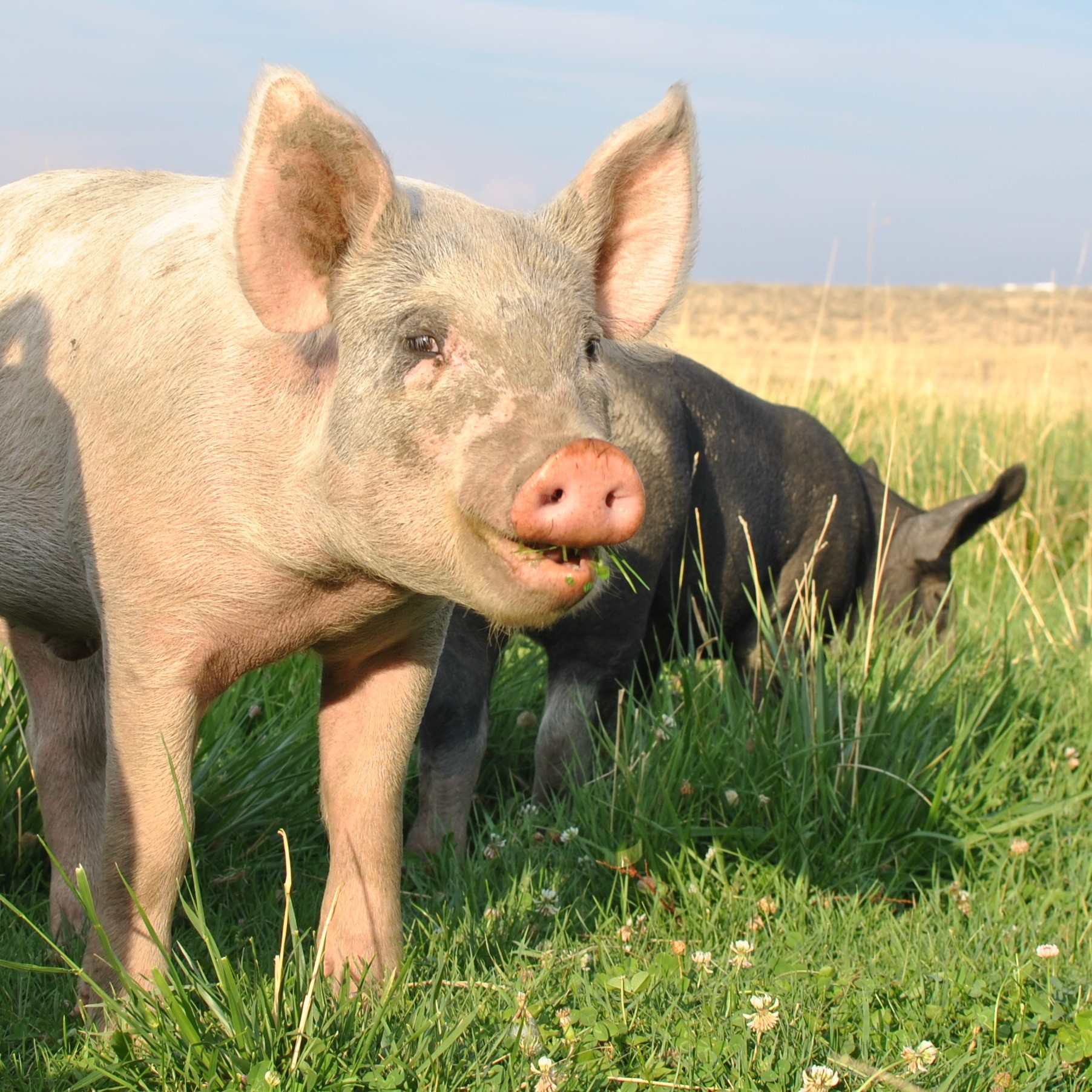 Cunningham Pastured Pork
