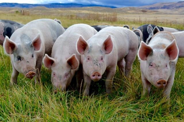 Bulk Pastured Pork