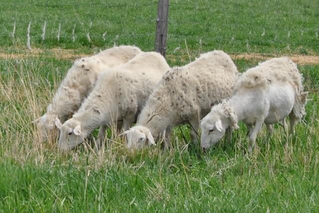 Bulk Grassfed Lamb - Only $8.00/lb*