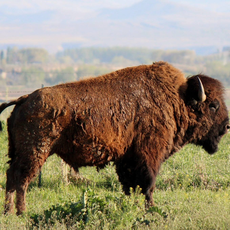 Grass Fed Buffalo