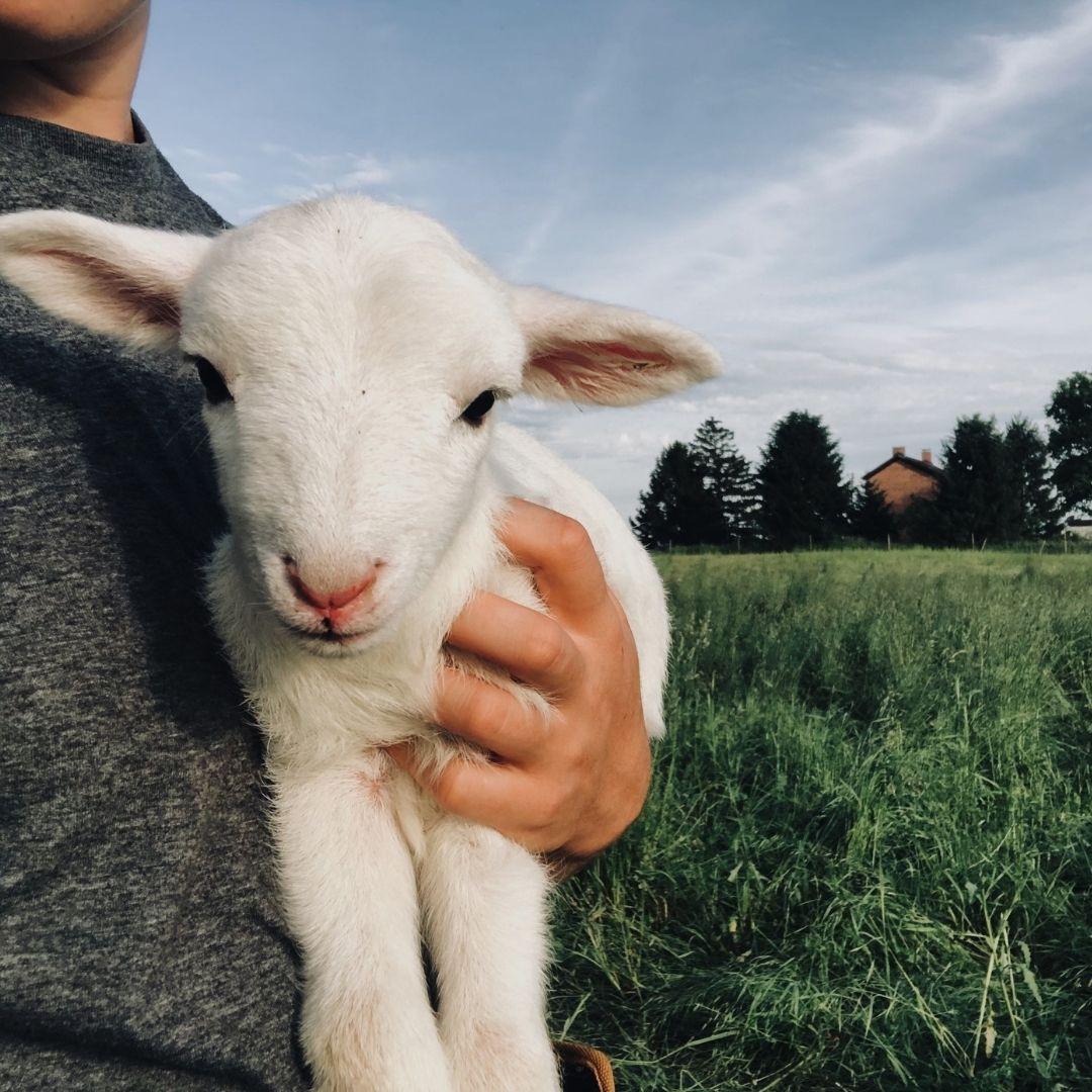 Meet Joey the Lamb!