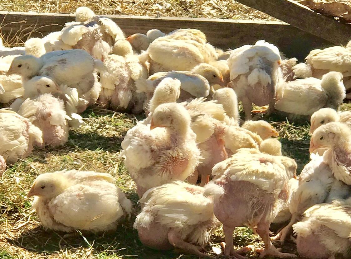 Tennessee Pasture Raised Chicken