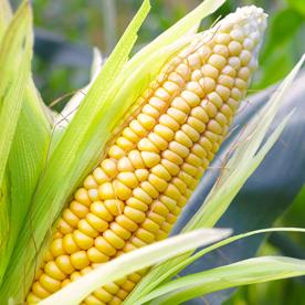 Sweet Corn, 2 ears