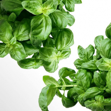 Basil, bunched, 2-3 oz