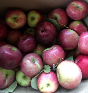 Apples, Macoun