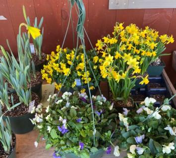 "Daffodils 7.5"" round pot"