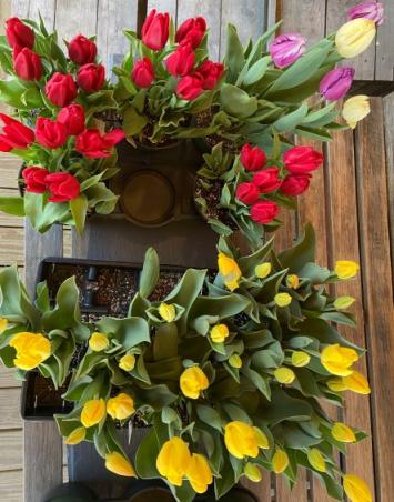 """Tulips 4.5"""" square pot - single color"""