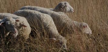 Whole Lamb Custom Butchered