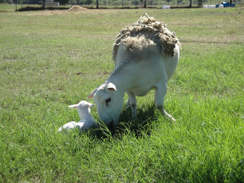 Camelia-&-ram-lamb.jpg
