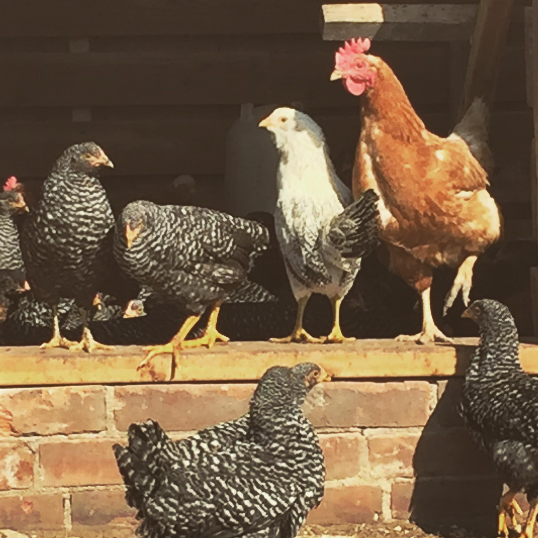 Stewing Hens 5 Bird Bundle
