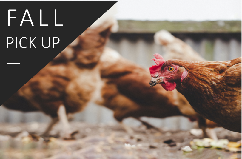 25 to 49 Hens >> Fall Sale