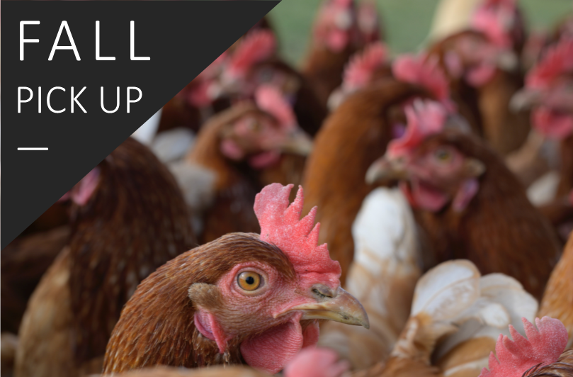 50+ Hens >> Fall Sale