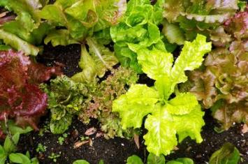 Organic Lettuce Seeds