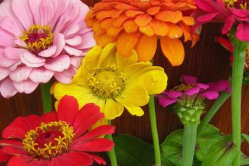 Organic Zinnia Seeds