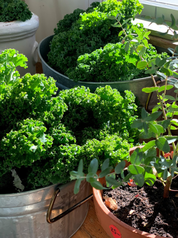 Kale - (Green Curly) - (1 bunch)
