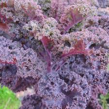 Kale (Purple Curly) - (1 bunch)