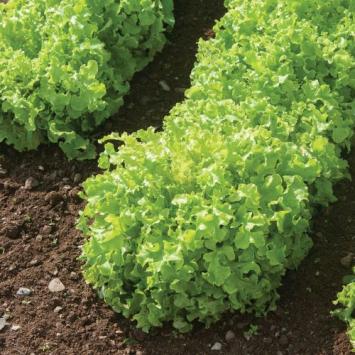 Lettuce - Green (1 head)