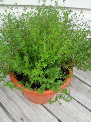 "Thyme ""Plant"" (Organic) - Large"