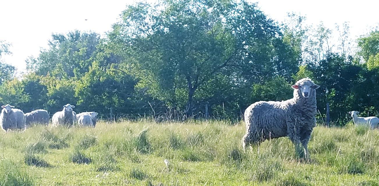 Pasture Raised Sheep