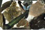 Imported Game Bird Skins, Wings, Tails & Cheeks