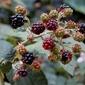 Wild Blackberry Sorbet With Garden Mint & Lavender