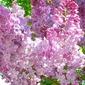 SUGAR your edible FLOWER blooms