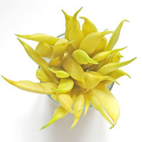 Market Matters- Heirloom Italian Yellow Wax Beans