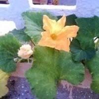 Pumpkin flowers fry (bajji)