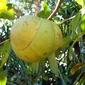 WHB#209 : Chaltar Ambol (Sweet & Sour Elephant Apple)
