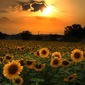 The Secret is in the Sunflower