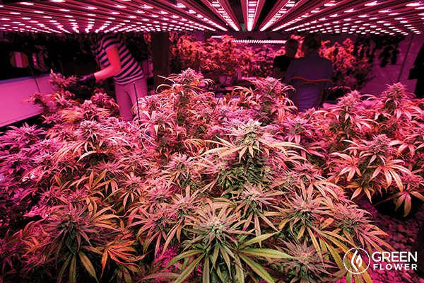 growing cannabis plants under led lights