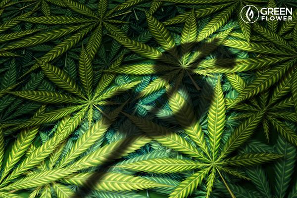 cannabis dollar sign