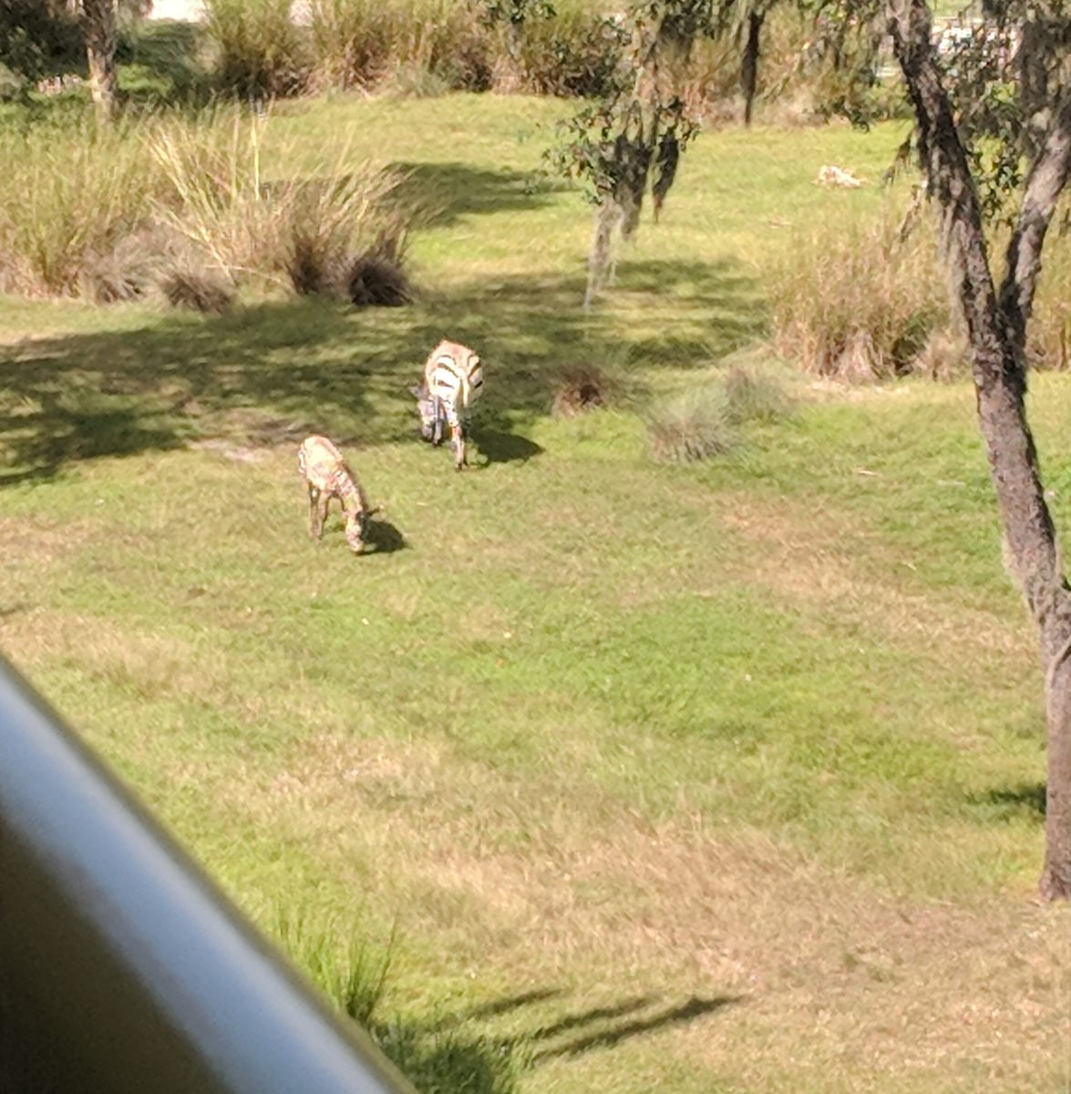 A picture from the balcony of a savanna view room at Disney's Animal Kingdom in Orlando, Florida