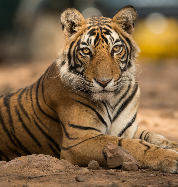A picture of a tiger in Ranthambore National Park in India